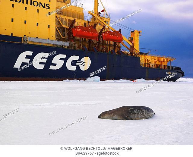 Weddell Seal (Leptonychotes weddellii) on the ice in McMurdo Sound with ice breaker Kapitan Khlebnikov at back, Antarctic