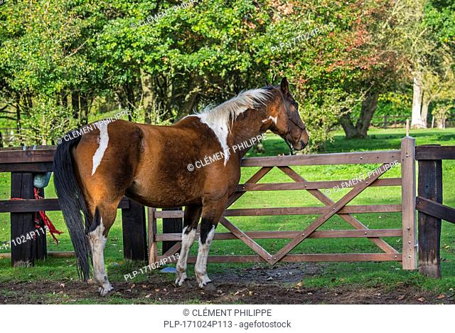 Pinto horse / Quarter Horse stallion outside in field within wooden enclosure