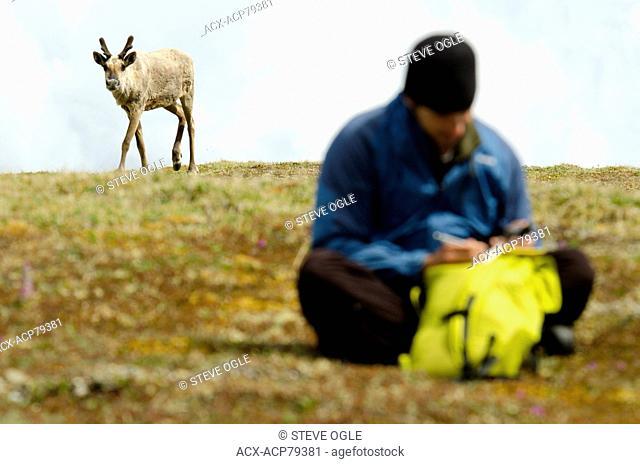 A scientist conducting research in the aptly-named Caribou Range near the BC-Yukon border, Canada. A woodland caribou, Rangifer tarandus