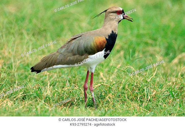 Southern lapwing (Vanellus chilensis). Costa Rica