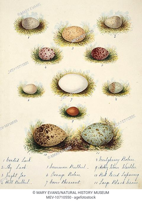 Plate 3 from Neilgherry birds and Miscellaneous (1858) by Margaret Bushby Lascelles Cockburn (1829-1928)