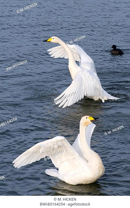 whooper swan (Cygnus cygnus), two individuals flapping wings, United Kingdom, Scotland