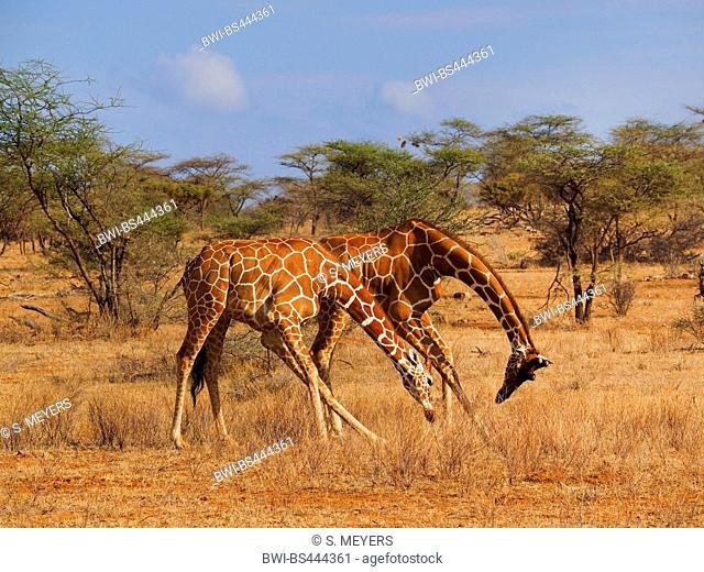 reticulated giraffe (Giraffa camelopardalis reticulata), two fighting males, Kenya, Samburu National Reserve