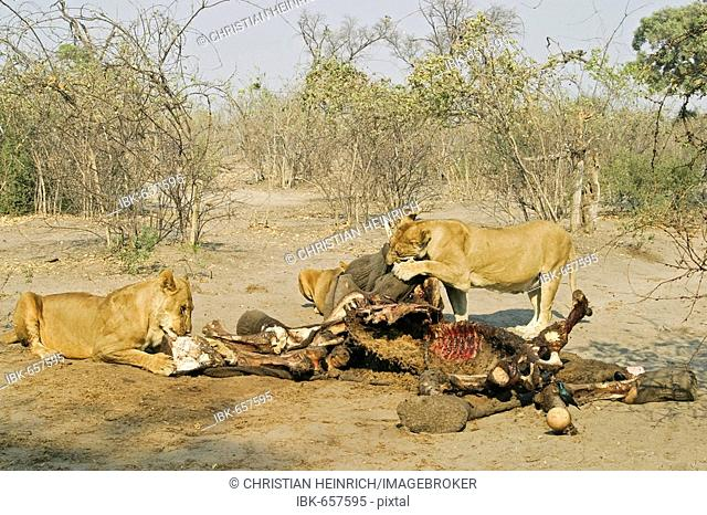 Lions (Panthera leo) at a captured elephant, Savuti, Chobe national park, Botswana, Africa