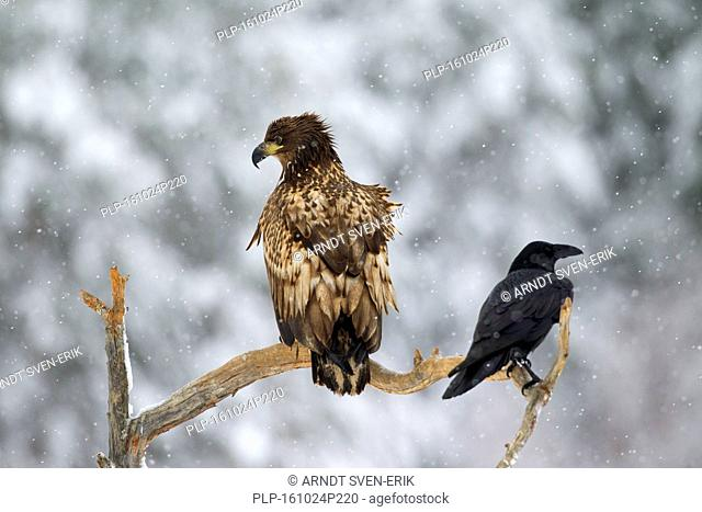 White-tailed eagle / Sea eagle / Erne (Haliaeetus albicilla) juvenile and common raven (Corvus corax) perched in tree during snowfall in winter