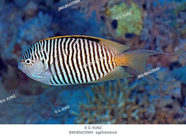 Zebra angelfish, Lyretail angelfish (Genicanthus caudovittatus), male, Egypt, Red Sea
