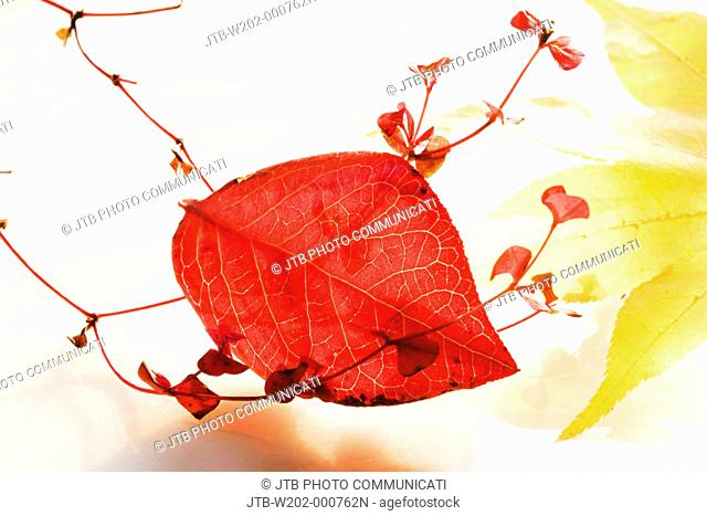 Concept, leaf, Stewartia pseudocamellia, red leaves, Tochigi, Kanto, Japan
