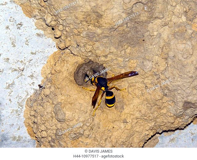Large wasp, wasp, insect, builds, building, entrance, mud nest, circular, NSW, New South Wales, Australia, Australian, home, wildlife, black, yellow, stripes