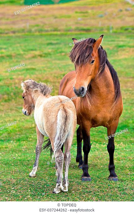 Brown Horse and Her Foal in a Green Field of Grass. Vertical shot
