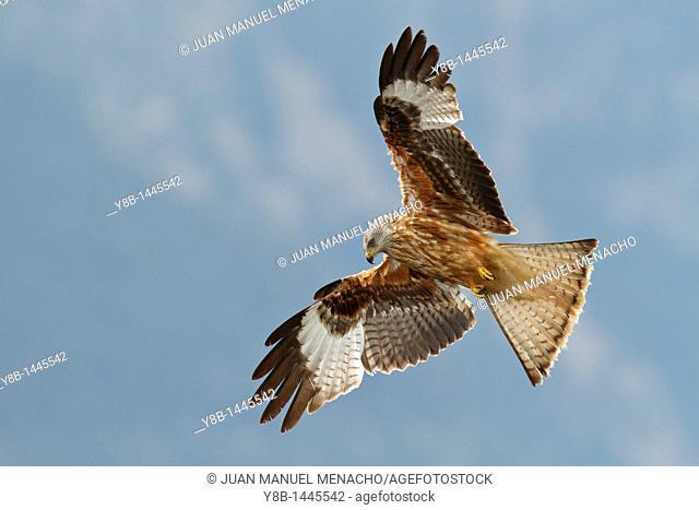 Red kite milvus milvus in fly, Pyrenees, Spain