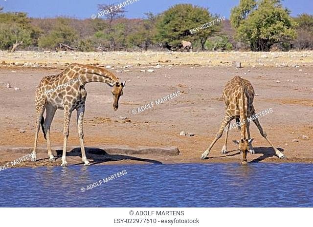 Afrika, südliches Afrika, Namibia, Etoscha National Park, Giraffen, Giraffa camelopardalis
