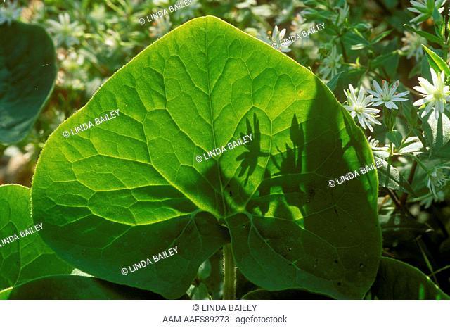 Wild Ginger Leaf & Star Chickweed (Asarum canadense) Appalachian Trail/Shenandoah