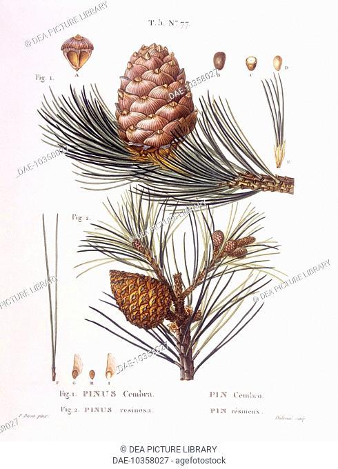 Botany - Pinaceae - Swiss pine or Arolla pine (Pinus cembra) and Red pine (Pinus resinosa). Henri Louis Duhamel du Monceau, botanical plate by Pancrace Bessa