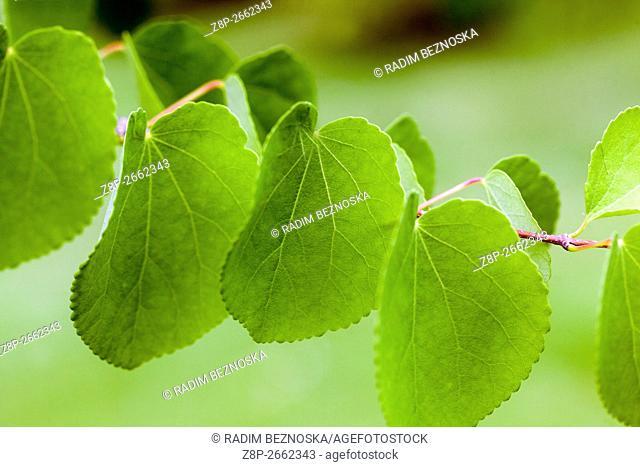 Cercidiphyllum japonicum, twig and leaves