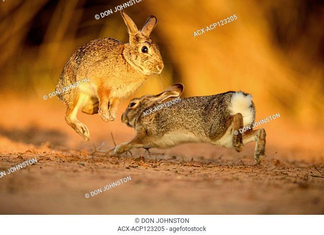 Desert cottontail (Sylvilagus audubonii) Interacting pair, Santa Clara Ranch, Starr County, Texas, USA