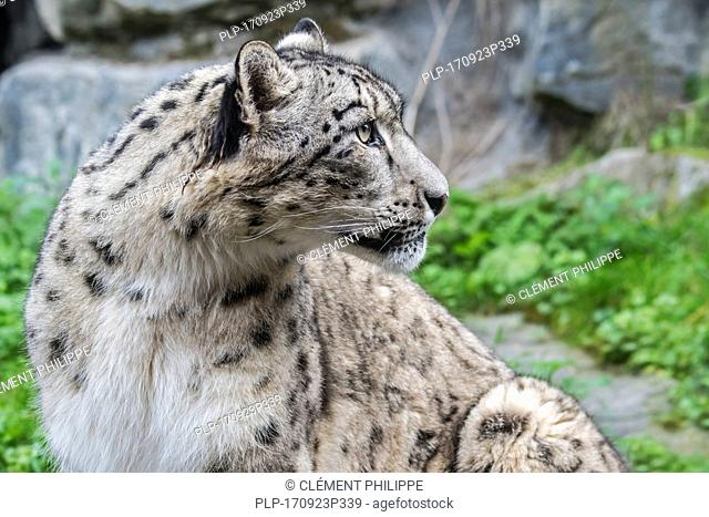 Snow leopard / ounce (Panthera uncia / Uncia uncia) native to the mountain ranges of Central and South Asia