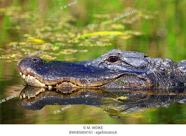 American alligator (Alligator mississippiensis), portraet with mirror image, USA, Florida, Shark Valley Everglades