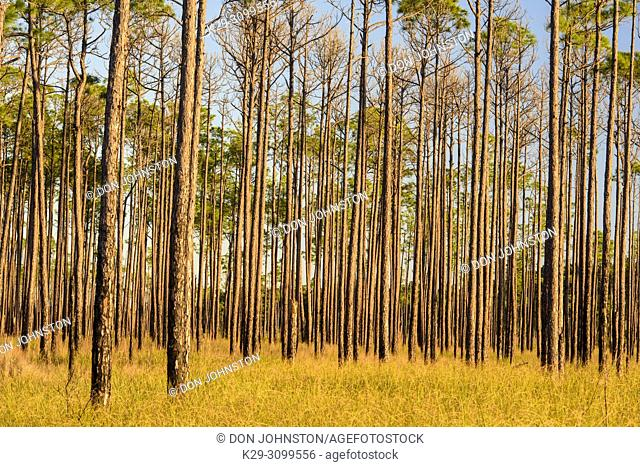 Pine trees at the edge of a marsh, Big Branch NWR, Boyscout Road, Lacombe, Louisiana, USA