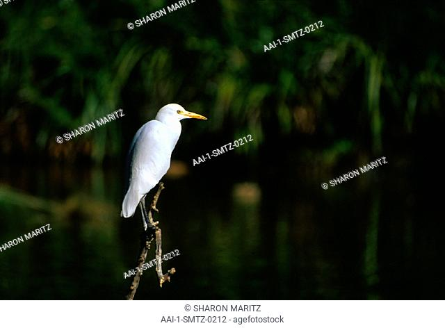 Great White Egret, South Africa