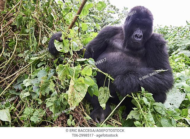 Silverback Mountain gorilla (Gorilla beringei beringei) member of Kabirizi group. Virunga National Park, North Kivu, Democratic Republic of Congo, Africa