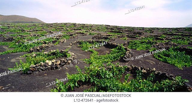 Vineyards, La Geria. Lanzarote, Canary Islands. Spain