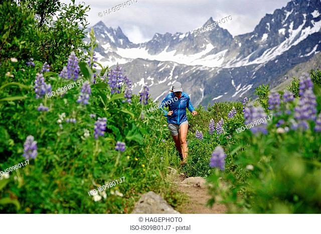 Woman running the Gold Mint Trail amongst mountain lupins, Talkeetna Mountains near Hatcher Pass, Alaska, USA