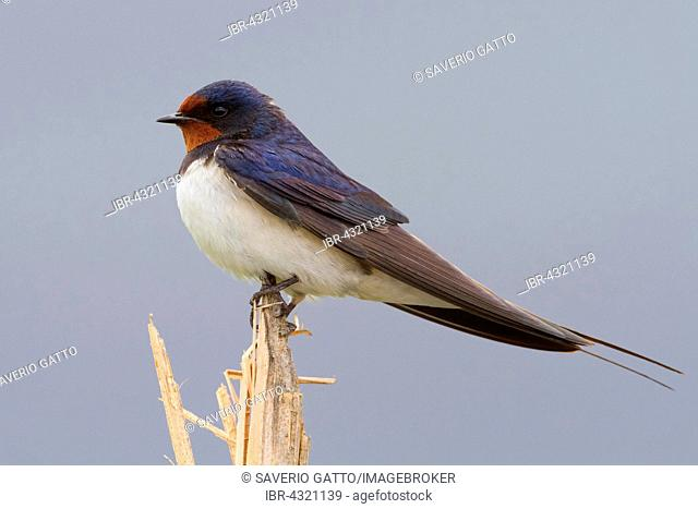 Barn Swallow (Hirundo rustica), adult perched on a reed, Atena Lucana, Campania, Italy