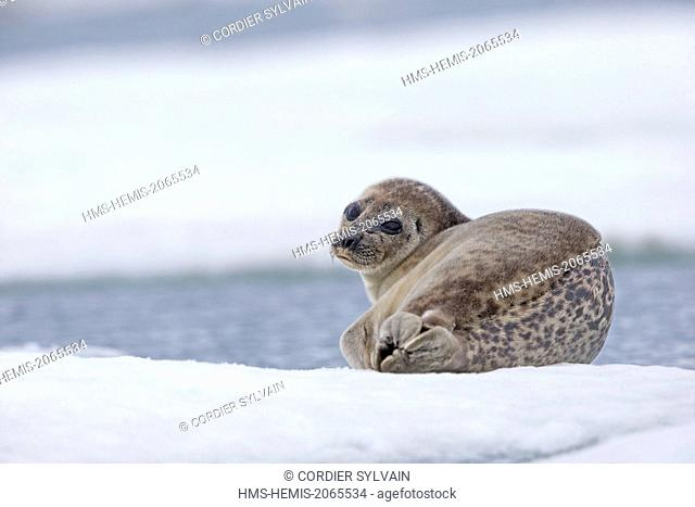 United States, Alaska, Arctic National Wildlife Refuge, Kaktovik, Ringed seal (Pusa hispida), on the ice floe