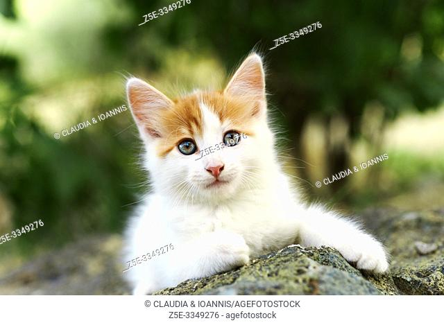 Front view of a beautiful white and red kitten lying on a stone outdoors