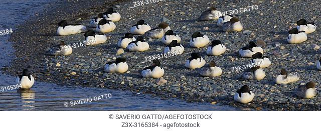 Common Merganser (Mergus merganser), flock resting on the shore