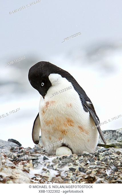 Adult Adelie penguin Pygoscelis adeliae sitting on an egg on breeding colony on Petermann Island, Antarctica  There are an estimated 2 million breeding pairs of...