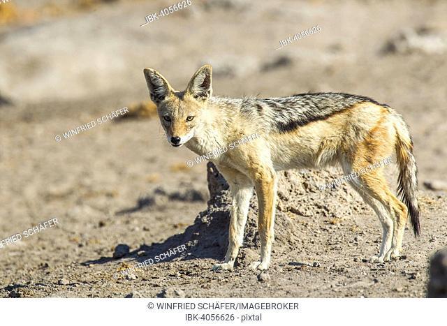 Black-backed Jackal (Canis mesomelas), Etosha National Park, Namibia