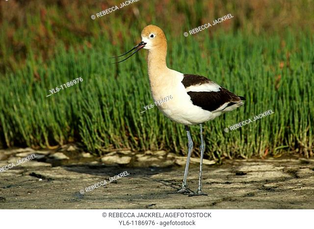 North America, United States, California, Palo Alto, Baylands  American Avocet