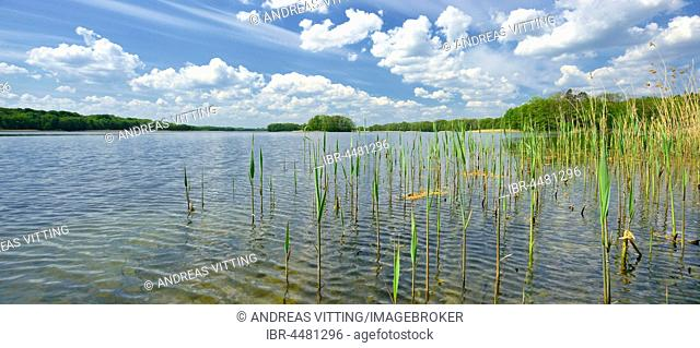 Clear lake with reeds surrounded by forest, cloudy atmosphere, Präßnicksee, biosphere reserve Schorfheide-Chorin, Brandenburg, Germany