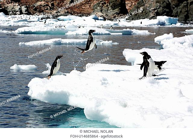Adult Adelie penguin Pygoscelis adeliae leaping from the sea onto ice floes near Heroina Island in the Weddell Sea, Antarctica