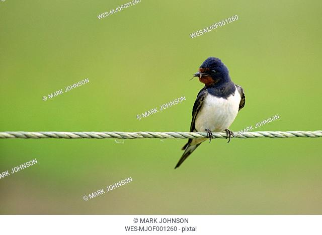 Barn swallow on a pope