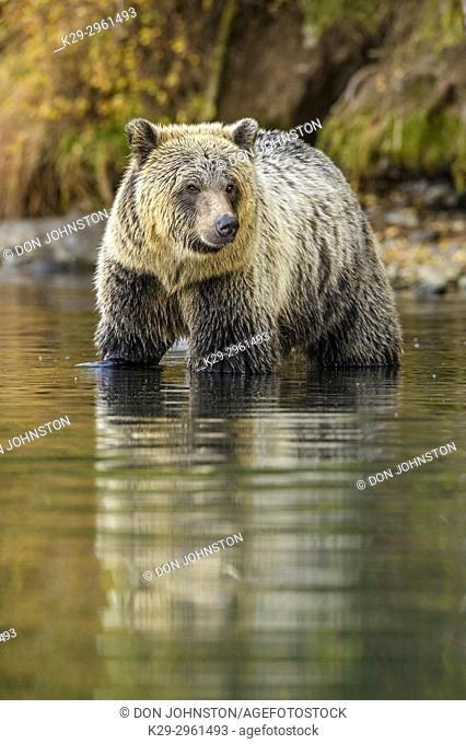 Grizzly bear (Ursus arctos)- Attracted to a sockeye salmon run in the Chilko River, Chilcotin Wilderness, Ontario, Canada