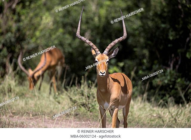 Kenya, nature reserve Masai of Mara, impala (Aepyceros), black heels antelope