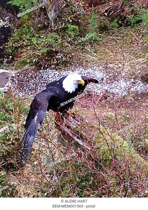 Bald eagle spreading wings in forest