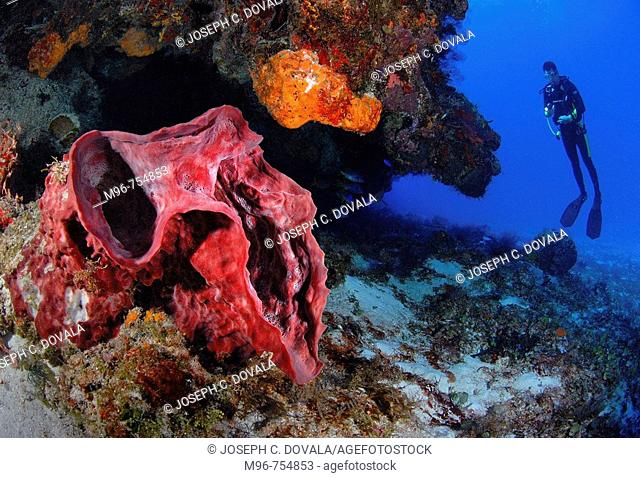 Elephant ear sponge and diver in Cozumel, Mexico