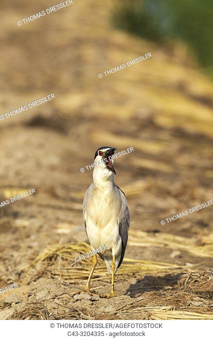 Black-crowned Night Heron (Nycticorax nycticorax). At a low bank of earth between rice fields (Oryza sativa). Environs of the Ebro Delta Nature Reserve