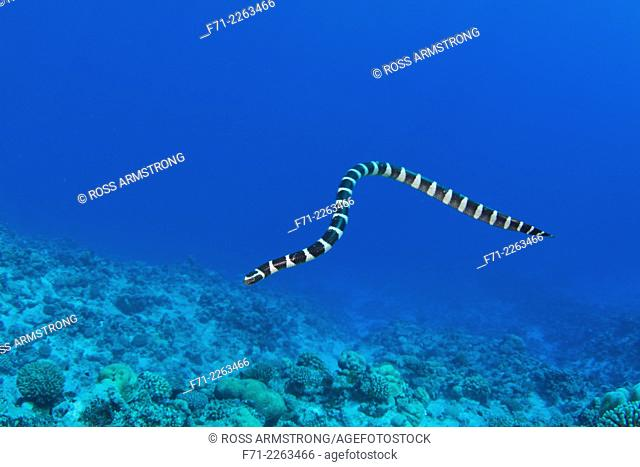 The colubrine sea krait, banded sea krait or yellow-lipped sea krait (Laticauda colubrina) is a species of sea snake found in tropical Indo-Pacific oceanic...