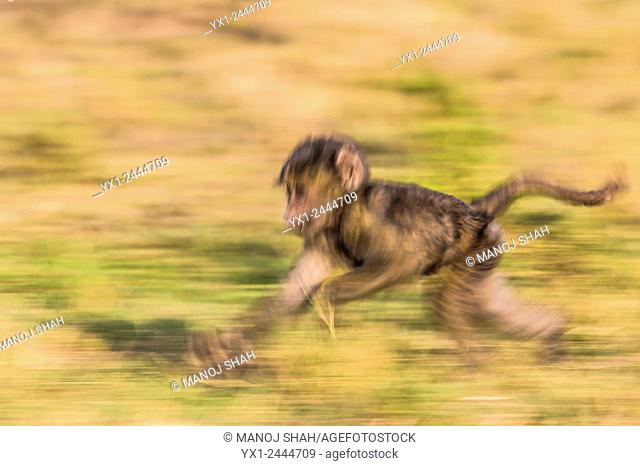 Not to be left behind, the baby baboon runs to catch up with mother in front. Masai Mara National Reserve, Kenya