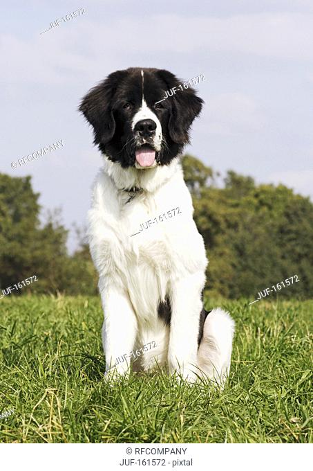 young Landseer dog - sitting on meadow