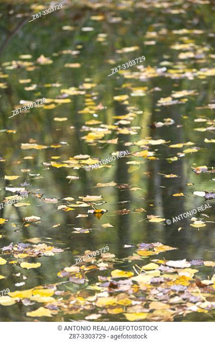 Río Dulce and Autumn leaves. Parque Natural Barranco del Río Dulce. Pelegrina. Guadalajara Province, Castile-La Mancha, Spain