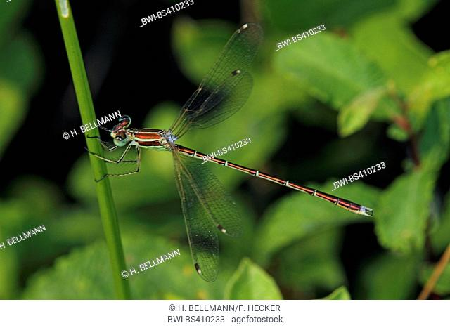 Migrant spreadwing, Southern emerald damselfly (Lestes barbarus), at a stem, side view , Germany