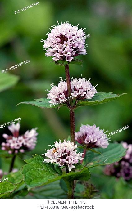 Peppermint (Mentha x piperita) in flower
