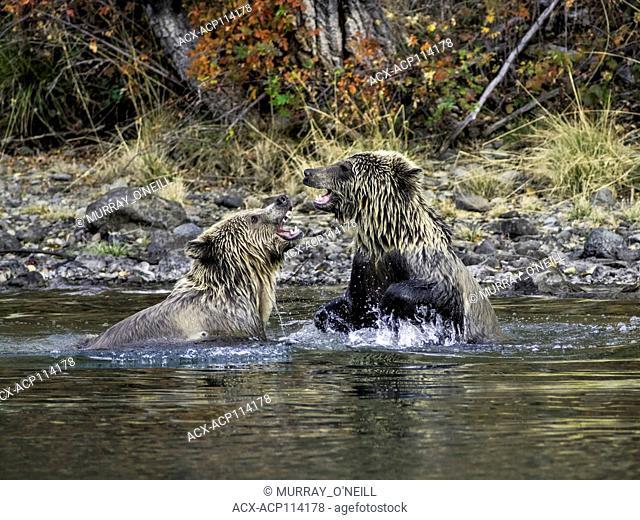 Grizzly Bears (Ursus arctos horribilis), sparing in a salmon stream Central British Columbia, Canada
