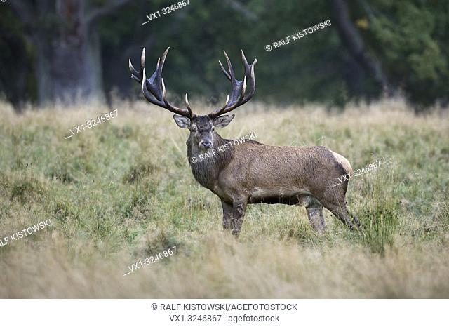 Red Deer / Rothirsch ( Cervus elaphus ), impressive royal stag, standing on a clearing in the woods, watching back, side view, Europe