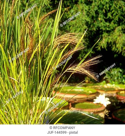 Rice plant at pond / Oryza sativa
